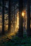 Sonnenaufgang im dunklen Wald Stockfotografie