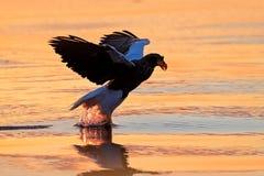 Sonnenaufgang im Ozean Schöner Steller-` s Seeadler, Haliaeetus pelagicus, Morgensonnenaufgang, Hokkaido, Japan Eagle, das an in  Lizenzfreie Stockfotografie