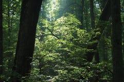 Sonnenaufgang im Wald Stockbild