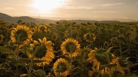 Sonnenaufgang 4K auf SonnenblumenfeldZeitspanne stock footage