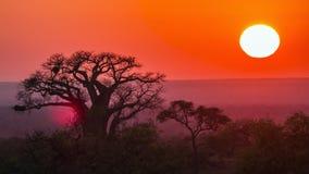 Sonnenaufgang mit Baobab in Nationalpark Kruger, Südafrika Lizenzfreies Stockfoto