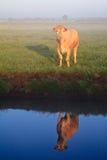 Sonnenaufgang mit Morgentau und -kuh Stockbild