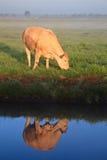 Sonnenaufgang mit Morgentau und -kuh Stockfotografie