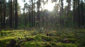 Sonnenaufgang oder Sonnenuntergang im wilden Waldsonnenlicht-Sonne ` s strahlt Glanz durch die Blätter und die Bäume aus Moos, Gr stock footage