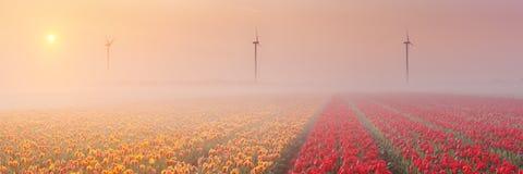 Sonnenaufgang und Nebel über blühenden Tulpen, die Niederlande Lizenzfreie Stockfotografie