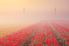 Sonnenaufgang und Nebel über Reihen von blühenden Tulpen Stockbild
