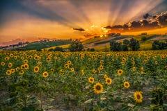 Sonnenaufgang und Sonnenblumen Lizenzfreie Stockfotos