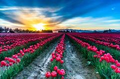 Sonnenaufgang und Tulpen Stockfotos