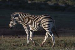 Sonnenaufgang-Zebra lizenzfreies stockbild