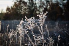 Sonnenaufgangfrostgras Lizenzfreie Stockfotografie