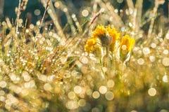 Sonnenaufganglicht im Gras Morgentau auf Gras und Blumen Stockfotos