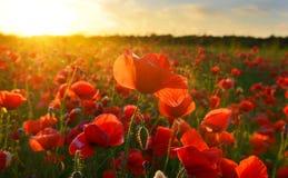 Sonnenaufgangmohnblumen Lizenzfreie Stockbilder