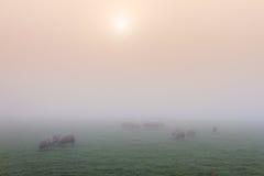 Sonnenaufgangnebel mit Schafen Lizenzfreie Stockbilder
