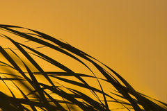 Sonnenaufgangschilfe im Wind Lizenzfreie Stockfotos