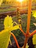 Sonnenbeschien mit goldenen Strahlen der Licht-/Traubengruppenknospe im goldenen Sonnenlicht Stockfoto