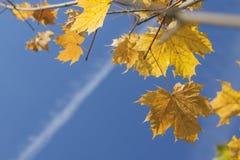 Sonnenbeschiene Acer-Blätter im Herbst Lizenzfreies Stockbild