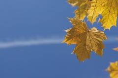 Sonnenbeschiene Acer-Blätter im Herbst Lizenzfreie Stockfotografie