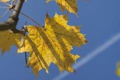 Sonnenbeschiene Acer-Blätter im Herbst Stockfotografie