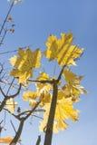 Sonnenbeschiene Acer-Blätter im Herbst Lizenzfreies Stockfoto