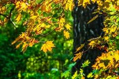 Sonnenbeschiene Blätter von Schwedler-` s Ahorn Lizenzfreies Stockbild
