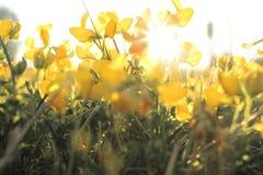 Sonnenbeschiene Blumen Lizenzfreies Stockfoto