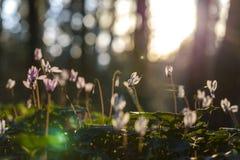Sonnenbeschiene Cyclamens auf Waldhintergrund mit spiderweb lizenzfreies stockfoto