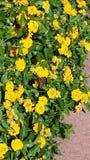 Sonnenbeschiene gelbe Blumen und ein Schmetterling Stockfoto