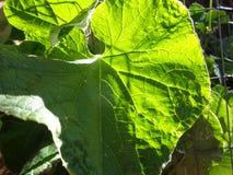 Sonnenbeschiene Gurken-Blatt-Nahaufnahme Stockbilder