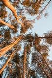 Sonnenbeschiene hohe Kiefer stockfotografie
