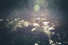 Sonnenbeschiene Kiefern Stockbild