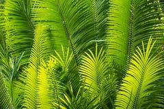 Sonnenbeschiene Palmblätter Stockfoto