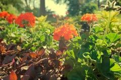Sonnenbeschiene Pelargonien Lizenzfreie Stockbilder