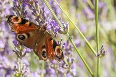 Sonnenbeschiene Schmetterlingsfl?gel des Pfauauges im lila Lavendel stockbild