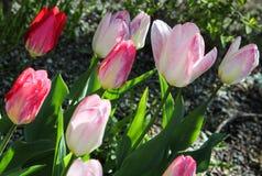 Sonnenbeschiene schräg gelegene rote und rosa Tulpen Lizenzfreie Stockfotografie