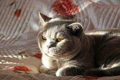 Sonnenbeschiene Zucht- Katze Stockbilder