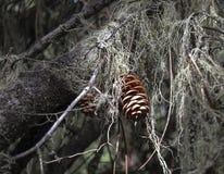 Sonnenbeschiener Kiefern-Kegel in einem dunklen Wald Stockfotografie