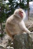 Sonnenbeschiener Schnee-Affe auf Boulder Lizenzfreies Stockfoto