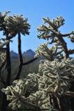Sonnenbeschienes Cholla gegen Aberglaube-Berge Lizenzfreies Stockbild
