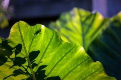 Sonnenbeschienes Elefantenohr-Blatt mit Betriebs-und Insekten-Schatten Stockfoto
