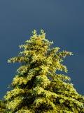 Sonnenbeschienes Immergrün gegen bewölkten Himmel Lizenzfreie Stockfotografie