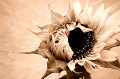 Sonnenblumeöffnung Stockfotos
