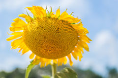 Sonnenblume über bewölktem blauem Himmel Lizenzfreies Stockfoto