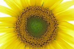 Sonnenblume 02 Stockbilder