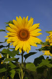 Sonnenblume. Stockbild