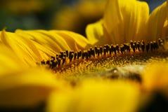 Sonnenblume Stockfotografie