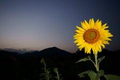 Sonnenblume Lizenzfreie Stockfotografie