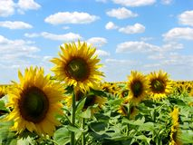 Sonnenblume Stockfoto
