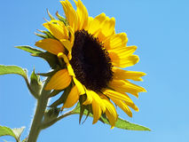 Sonnenblume 2 Lizenzfreie Stockfotografie
