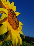 Sonnenblume 2 stockfotografie
