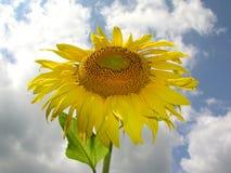 Sonnenblume 1 Stockbild